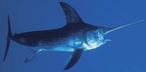 Swordfish-in-costa-rica